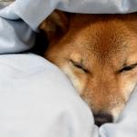 寝具につつまれる犬